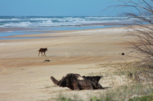 dingoes roaming